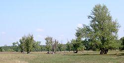 Populus nigra kz1.jpg