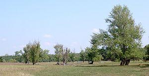 Populus nigra - Black poplars in Poland