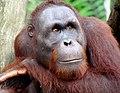 Portrait of an Orangutan 2012.JPG