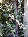 Possible Ulmus 'Myrtifolia'. Edinburgh (2).jpg