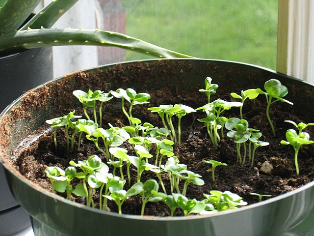 File:Pot of basil sprouts (Ocimum basilicum) - 20050422.jpg