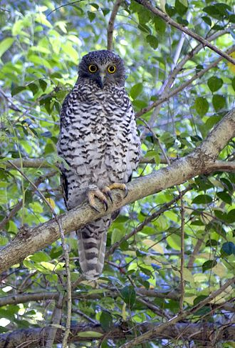 Powerful owl - Powerful owl - Sydney, NSW, Australia