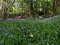Prairie de jacinthes des bois (Hyacinthoides non-scripta), sous charmaie-chènaie - Forêt de Mervent-Vouvant.jpg