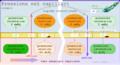 Pressioni idrostatiche e osmotiche in capillari.png