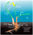 Processes within the seagrass holobiont.webp