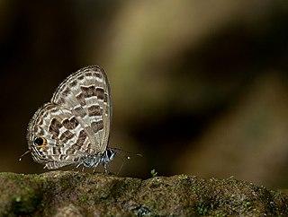 <i>Prosotas aluta</i> Species of butterfly