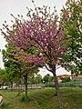 Prunus Persica in Rome 2019 - 05.jpg