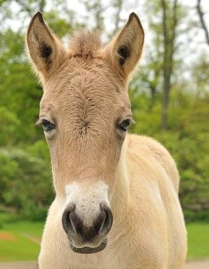 Przewalski's colt (head)