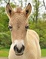 Przewalski's colt (head).jpg