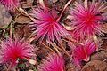 Pseudobombax ellipticum rose JB Cienfuegos 2.jpg