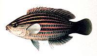 Pseudocheilinus hexataenia.jpg