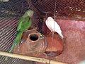 Psittacula eupatria and a dove at Kambalakonda Park, Andhra Pradesh, India-4a.jpg