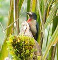 Puerto Rican Woodpecker - El Yunque.JPG