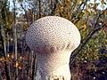 Puff-ball (Lycoperdon perlatum) - geograph.org.uk - 1560067.jpg