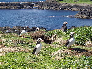 Lunga, Treshnish Isles - Puffins on Lunga.
