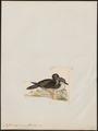 Puffinus sphenurus - 1820-1860 - Print - Iconographia Zoologica - Special Collections University of Amsterdam - UBA01 IZ17900031.tif