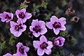 Purple Saxifrage - Saxifraga oppositifolia - panoramio (3).jpg