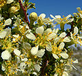 Purshia glandulosa 6.jpg