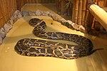 Pyton tygrysi (Python molurus).JPG