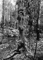 Queensland State Archives 1287 A wildapple tree in the Jungle Malanda c 1935.png