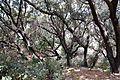 QuercusIlexRemnantForestMalta01.jpg