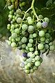 Racimo de uvas.jpg