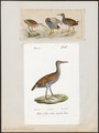 Rallus aquaticus - 1700-1880 - Print - Iconographia Zoologica - Special Collections University of Amsterdam - UBA01 IZ17500015.tif