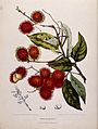 Rambutan (Nephelium lappaceum L.); fruiting branch and separ Wellcome V0042699.jpg