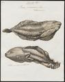 Rana paradoxa - 1700-1880 - Print - Iconographia Zoologica - Special Collections University of Amsterdam - UBA01 IZ11500019.tif