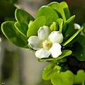 Randia aculeata (White Indigo Berry) (14295934876).jpg