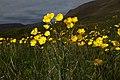 Ranunculus acris (9384582503).jpg