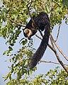 Ratufa bicolor 6237.jpg