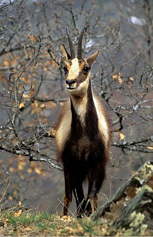 Cantabrian chamois - Winter coat