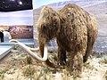 Reconstitution d'un mammouth 3.jpg