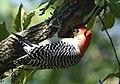 Red-bellied Woodpecker (30269866627).jpg