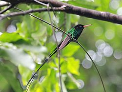 Red-billed Streamertail male RWD2.jpg