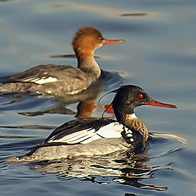 Red-breasted merganser.jpg