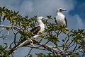 Red-footed Boobies.jpg