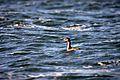 Red-necked Grebe on Turtle Lake, Saskatchewan.jpg