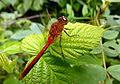 Red Dragonfly (7629727058).jpg