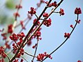 Red Maple Flowers, Jordan Lake SP NC 1481 (5486685983).jpg
