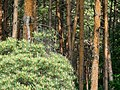 Red Pines 赤松 - panoramio.jpg