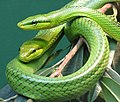 Red Tailed Green Ratsnake 002.jpg