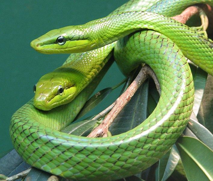 Средней величины змея, длиной от 160-190 см, рекордная известная длина 2...