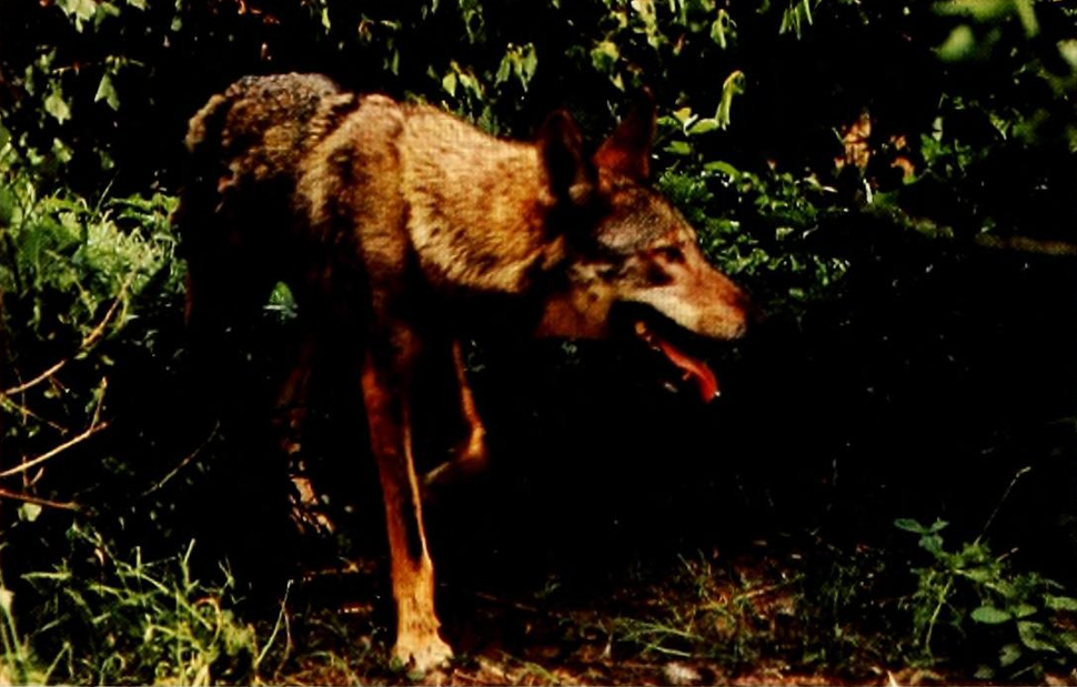 Red Wolf (1980)