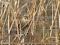 Reed Bunting (Emberiza schoeniclus) (31867055035).jpg