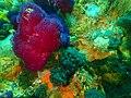 Reef invertebrates at Anvil Rock P9300858.jpg