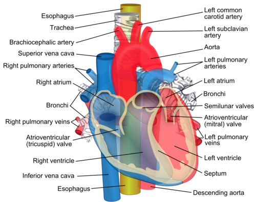 Anterior view of the heart, with all great vessels labeled. Relations of the aorta, trachea, esophagus and other heart structures.png
