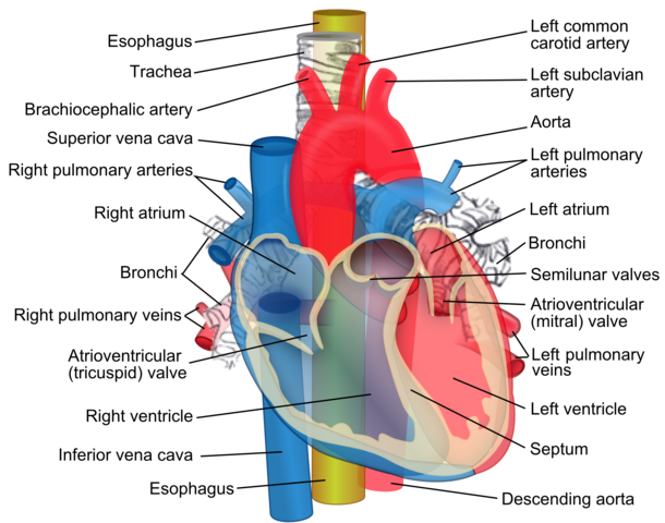 File:Relations of the aorta, trachea, esophagus and other heart ...