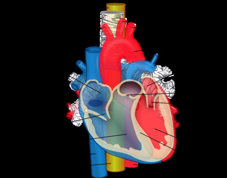 Pulmonary Artery Eanswers
